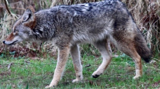 B.C. to cull up to 35 coyotes from Vancouver's Stanley Park following attacks