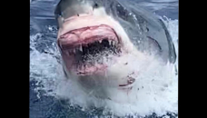 Dentally challenged great white shark greets divers