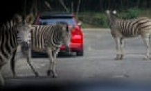 Escaped zebras bamboozle Maryland officials: 'They're just too like a flash'