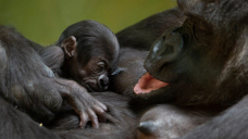 Many primate species may grieve the loss of an infant by carrying its body, study suggests