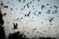Bats with Covid-admire viruses found in Laos: study
