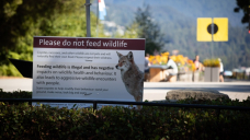 2 people arrested for allegedly feeding Stanley Park coyotes on day of reopening