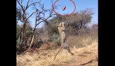 Leopard's 'stunning' leap showcased in gradual-circulation video