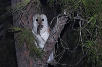 Morocco to adopt Israeli method of biological extermination using owls