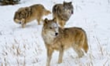Outcry after federal agents kill eight wolf cubs adopted by Idaho school