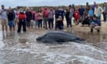 Huge leatherback sea turtle stranded on Cape Cod rescued by volunteers –video